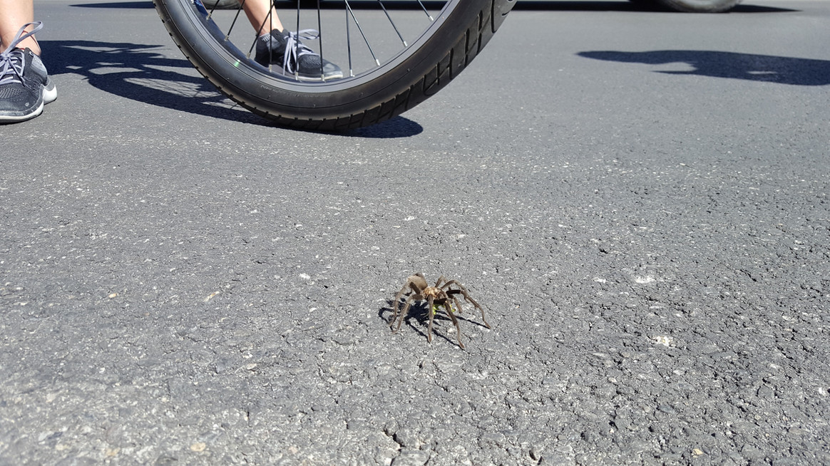 tarantula mating season